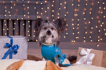 Cute chinese crested dog is sitting near the new years gifts. Pet animals. Traditional holidays. Stock Photo