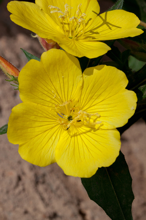 Beautiful oenothera biennis are growing on a green meadow. Live nature. Stock Photo