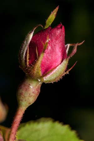 Beautiful pink rose is growing in a spring garden. Unblown flower. Live nature.