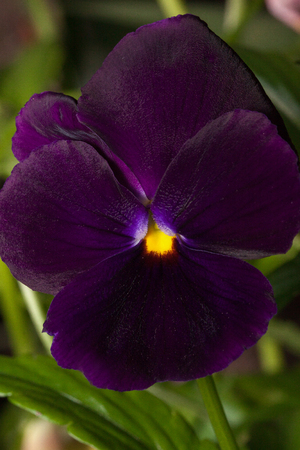 Beautiful violet pansy are growing on a green meadow. Live nature.