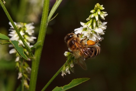 Bee is gathering nectar from a goodyera flowers. Animals in wildlife.