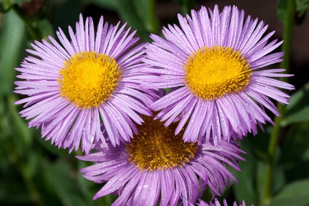 Three beautiful aster with violet petals is growing in a summer garden. Live nature. Early morning.