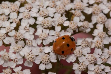 Ladybug is sitting on yarrow flowers. Live nature. Stock Photo