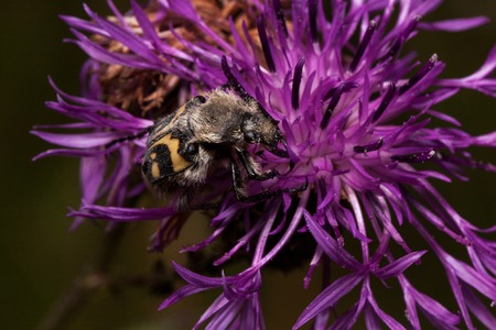 Trichius fasciatus is sitting on a purple thistle flower. Hairy beetle with a yellow-black pattern on the body. Animals in wildlife.