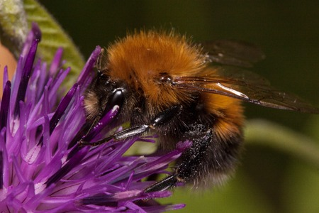 Bumblebee is gathering pollen from a thistle flower. Animals in wildlife.