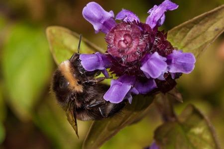 Bumblebee is gathering nectar from prunella vulgaris. Animals in wildlife. Summer morning. Stock Photo