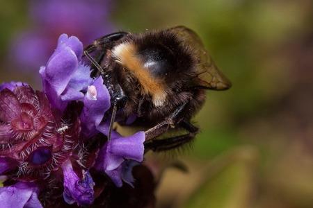 Bumblebee is gathering pollen from prunella vulgaris. Animals in wildlife. Summer morning.