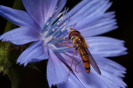 Hoverfly is gathering nectar from chicory flower. Animals in wildlife.