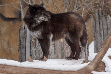 Wild black canadian wolf is looking for his new victim. Animals in wildlife. In the winter forest.