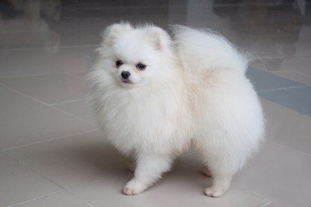 Cute white pomeranian spitz is looking into the camera. Pet animals.