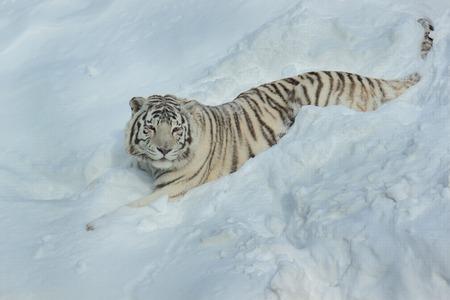 Wild white bengal tiger is lying on white snow. Animals in wildlife. Stock Photo