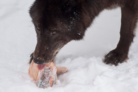 Wild black canadian wolf is eating a piece of meat. Animals in wildlife. Canis lupus pambasileus. Stock Photo