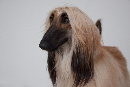 Cute afghan hound close up. Eastern greyhound or persian greyhound. Pet animals. Stock Photo