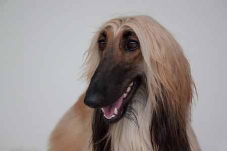 Cute afghan hound isolated on gray background. Eastern greyhound or persian greyhound. Pet animals. Stock Photo
