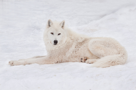 Wild polar wolf is lying on white snow. Arctic wolf or white wolf. Animals in wildlife. Canis lupus arctos.