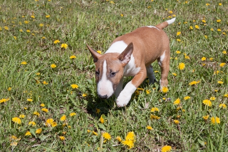Cute miniature bull terrier is playing and jumping on a green meadow. Pet animals. Three month old.