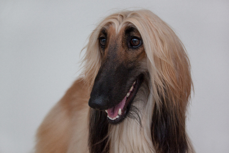 Cute afghan hound isolated on gray background. Eastern greyhound or persian greyhound.