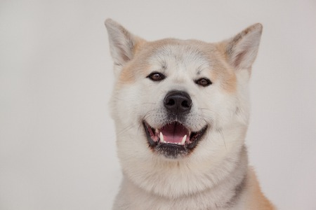 Akita inu isolated on a gray background. Akita ken or japanese akita.