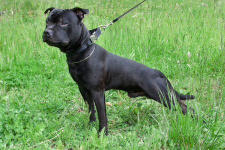 Staffordshire bull terrier puppy is standing on a green meadow. Pet animals.