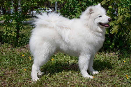 Samoyed is standing on a green meadow with dandelion flowers. Pet animals. Standard-Bild