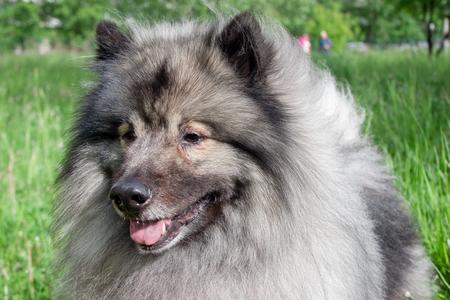 Deutscher wolfspitz close up. Keeshond or german spitz. Pet animals.