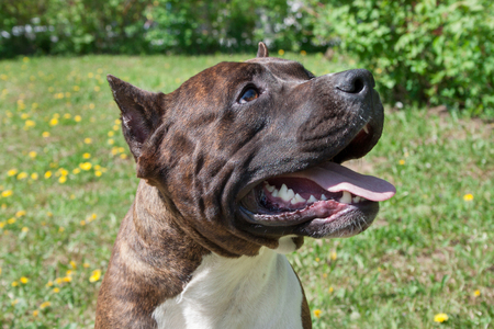 American staffordshire terrier puppy is standing with lolling tongue. Close up. Pet animals.