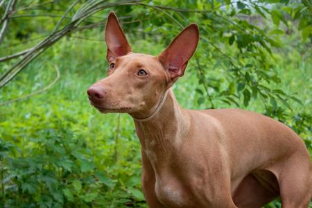 Cute pharaoh hound close up. Hunting dog. Pet animals.