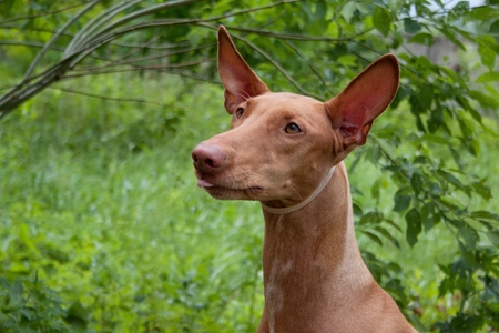 Cute pharaoh hound close up. Kelb tal-Fenek or rabbit dog. Pet animals. Imagens