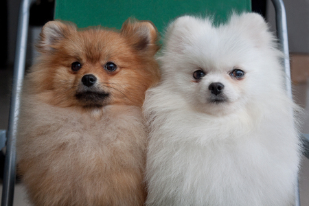 Two cute pomeranian pupp are sitting on a collapsible chair. Pet animals. Purebred dog. Stock fotó