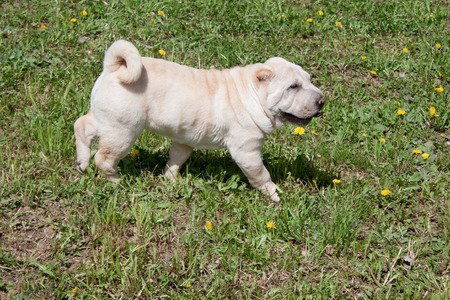 Cream-colored shar-pei puppy is walking on a green meadow. Pet animals. 版權商用圖片