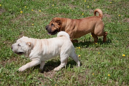 Two cute shar-pei puppies is playing on a green meadow. Pet animals.