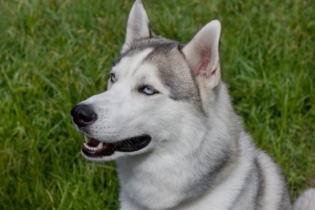 Siberian husky is sitting on a spring green meadow. Close up.