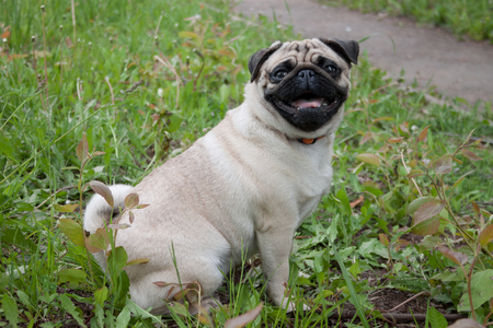 Chinese pug puppy cream-colored is sitting on a green meadow. Dutch mastiff or mops. Pet animals.