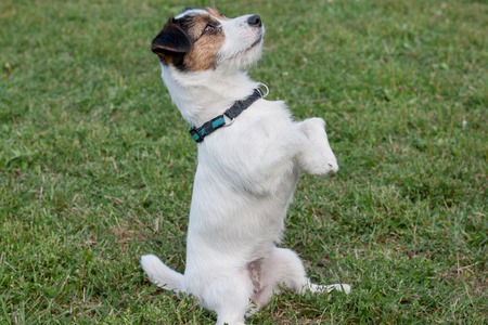 Cute jack russell terrier is standing on the hind paws. Pet animals. Purebred dog.