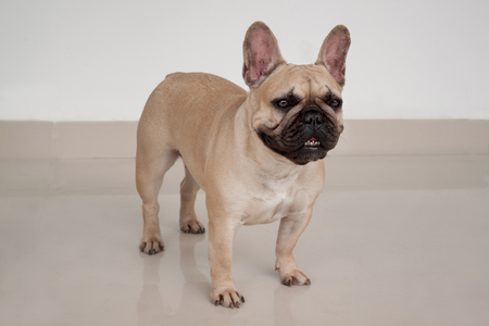 Cream-colored french bulldog puppy is standing on tiled floor. Pet animals. Purebred dog.