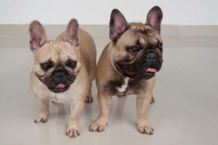 Two cute french bulldog puppies are standing on tiled floor. Pet animals. Purebred dog.