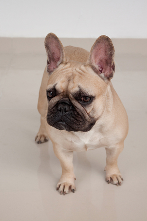 Cute cream-colored french bulldog puppy is standing on tiled floor. Pet animals. Purebred dog. 版權商用圖片