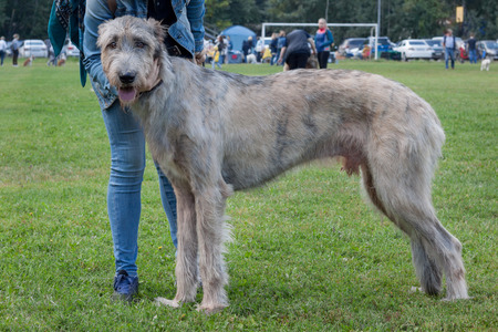 Large irish wolfhound is standing on a green meadow with his owner. Pet animals. Purebred dog.