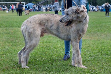 Large irish wolfhound is standing in the green grass with his owner. Pet animals. Purebred dog.
