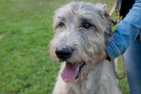 Large irish wolfhound with his owner. Close up. Pet animals. Purebred dog.
