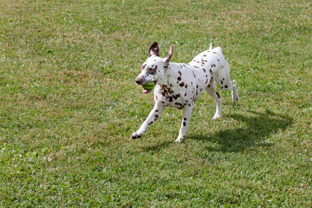 Cute dalmatian puppy is playing with small ball. Dog toys. Pet animals. Purebred dog.