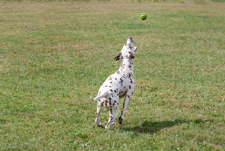 Cute dalmatian puppy is playing with small ball. Dog toys. Pet animals. Purebred dog. Stock Photo - 109329214