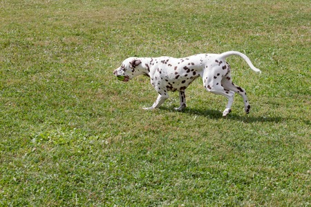 Cute dalmatian puppy is carrying a small ball in his teeth. Pet animals. Purebred dog.