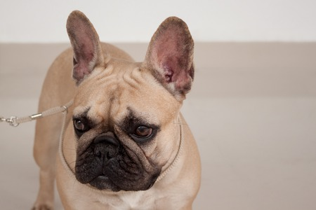 Cream-colored french bulldog puppy close up. Pet animals. Purebred dog.