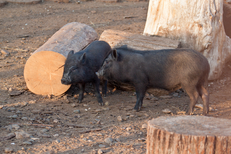 Two cute young vietnamese piggies near the felled trees on the farm. Vietnamese pot-bellied or pot-bellied pig. Farm animals.