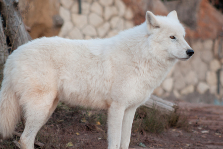 Wild alaskan tundra wolf is looking his prey. Canis lupus arctos. Polar wolf or white wolf. Animals in wildlife.