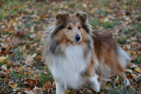 Sable shetland sheepdog puppy is standing on the autumn park. Shetland collie or sheltie. Pet animals. Purebred dog. Stock fotó