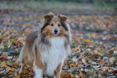 Sable shetland sheepdog puppy is looking at the camera. Shetland collie or sheltie. Pet animals. Purebred dog. 写真素材