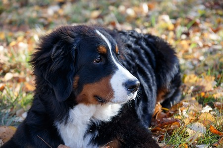 Cute bernese mountain dog puppy is lying on a autumn meadow. Berner sennenhund or bernese cattle dog. Three month old. Pet animals. Stock Photo