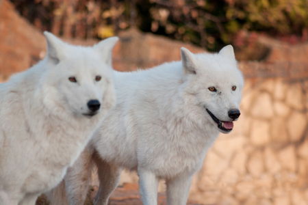 Two wild alaskan tundra wolves. Canis lupus arctos. Polar wolf or white wolf. Animals in wildlife. 免版税图像